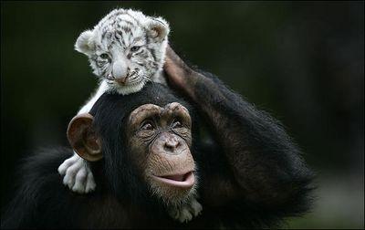 ホワイトタイガーの赤ちゃんとチンパンジー06