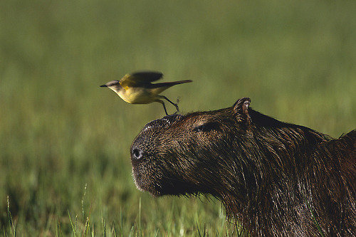 カピバラと他の動物たち10