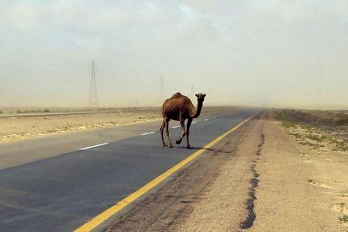 道路を渡る動物07