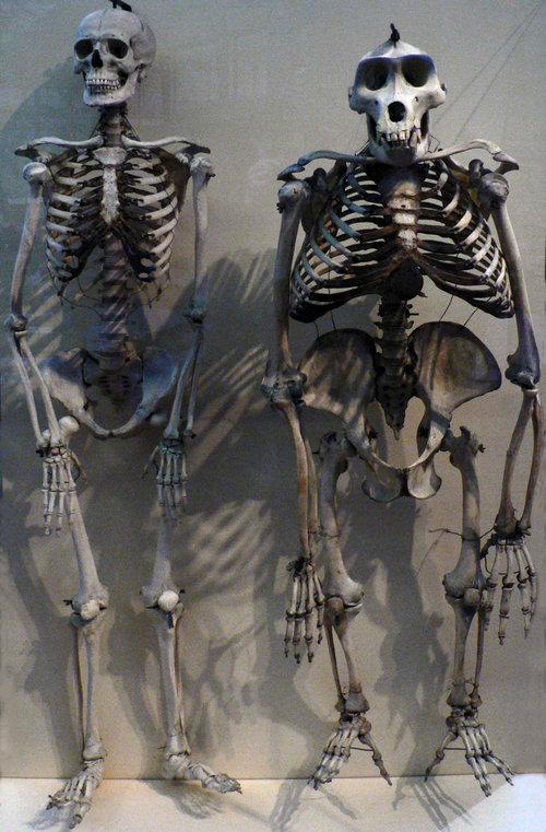 ヒトとゴリラの骨格を比べると01