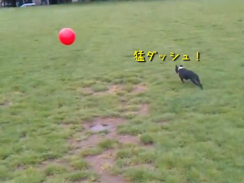 ボールで自爆する犬