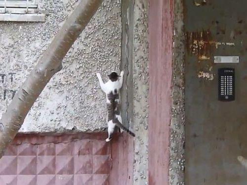 壁を自由自在に上る猫01