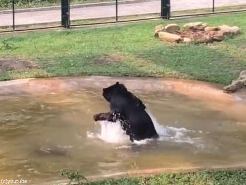 保護されたクマ、初めてのプール10