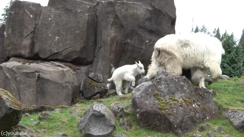 崖登りの練習をするヤギの子ども02