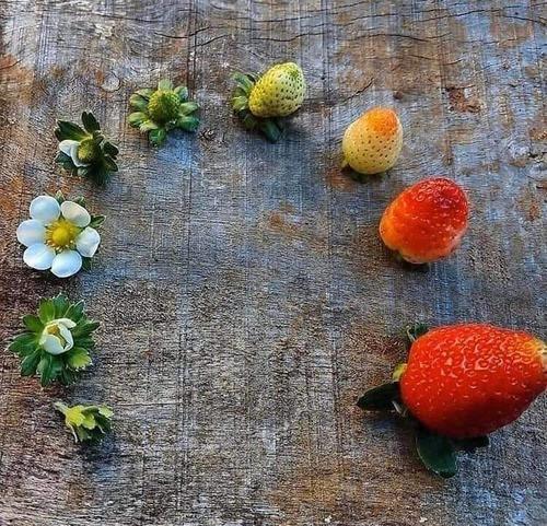 イチゴやブルーベリーの成長過程01