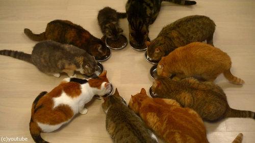 猫10匹が並んで食事04