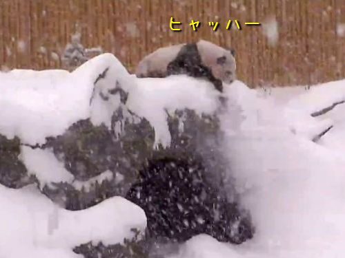 雪にはしゃぐパンダ00