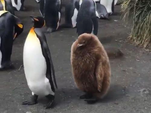ペンギンの親子01