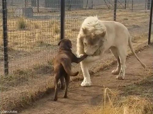 紳士なホワイトライオン05