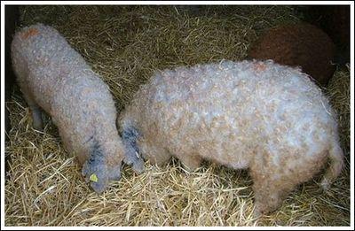 豚と羊の交配種06
