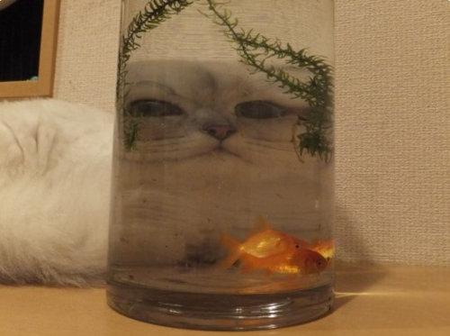 金魚を見ている猫