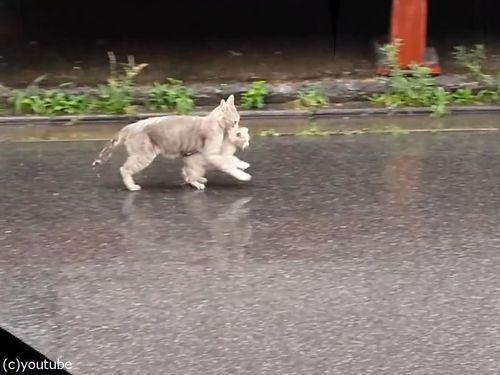 雨の日に子猫をくわえて走る母猫01