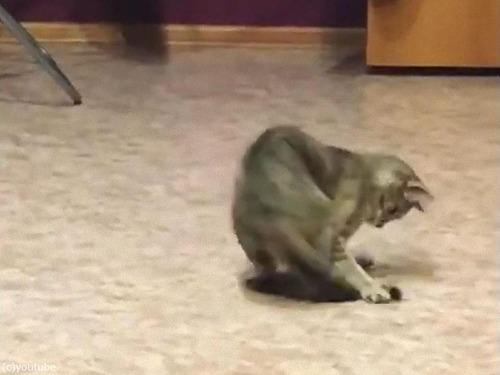 しっぽを追いかけて回転猫00