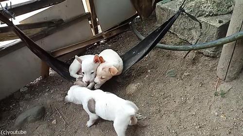 ハンモックで眠る子犬たち01