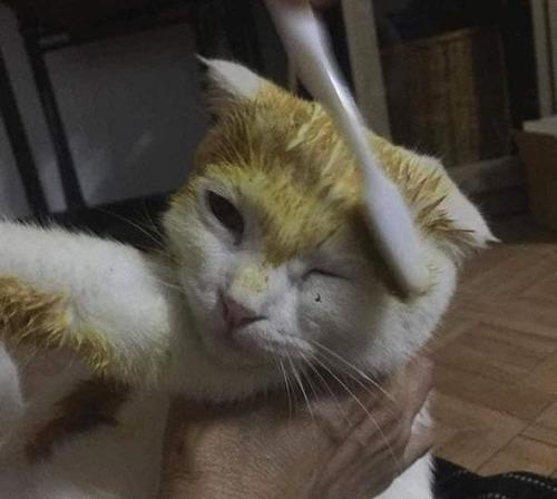 治療のウコンでピカチュウ化した猫02