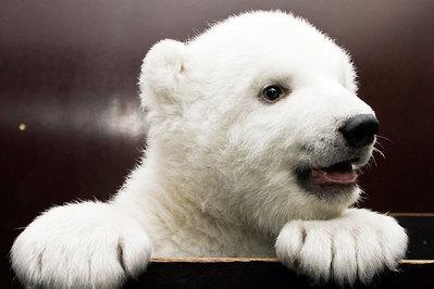 白クマの子供がかわいすぎるTOP