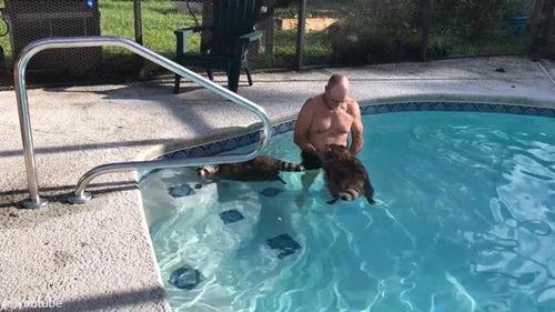 プールを泳ぐアライグマ03