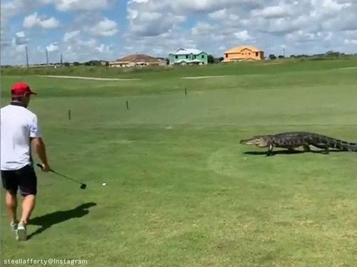 ゴルファーの目の前を大きなワニが横切るも…気にせずナイスショット
