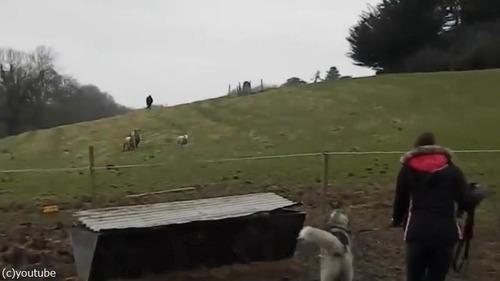ハスキーと子羊は大親友01