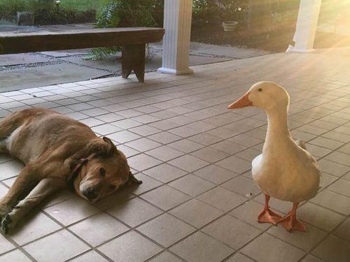 アヒルと出会って元気を取り戻した犬01