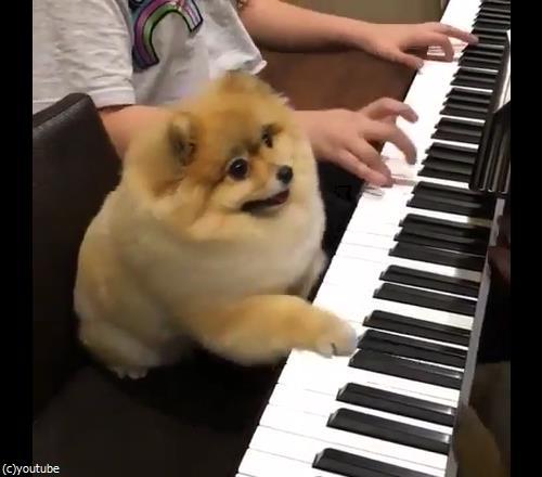 うちの犬はピアニスト03