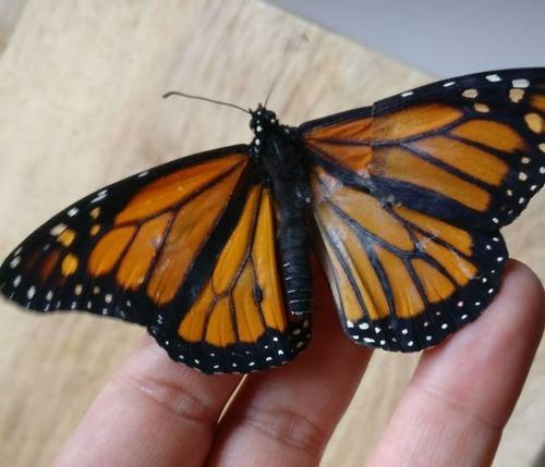 蝶の羽を移植03