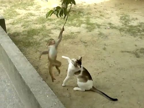 子ザルが枝にぶら下がって猫と戦う01