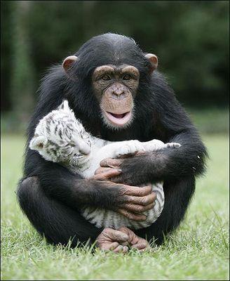 ホワイトタイガーの赤ちゃんとチンパンジー05