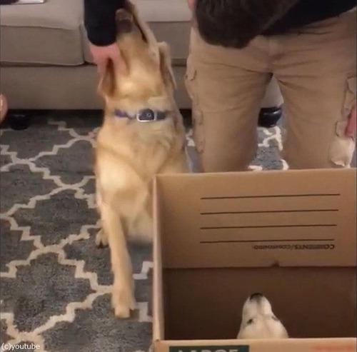子犬の妹と対面して興奮が止まらないワンちゃん03