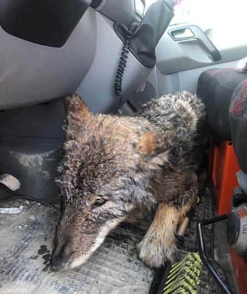 犬を助けたと思ったらオオカミだった02