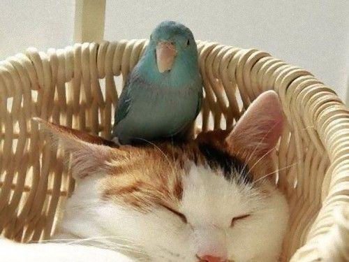 インコと猫00