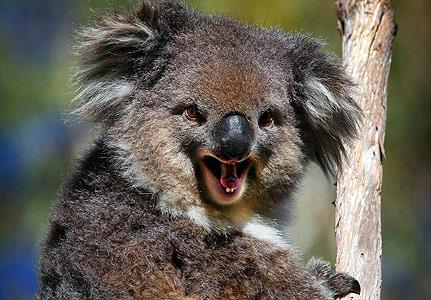 コアラが獰猛なとき01