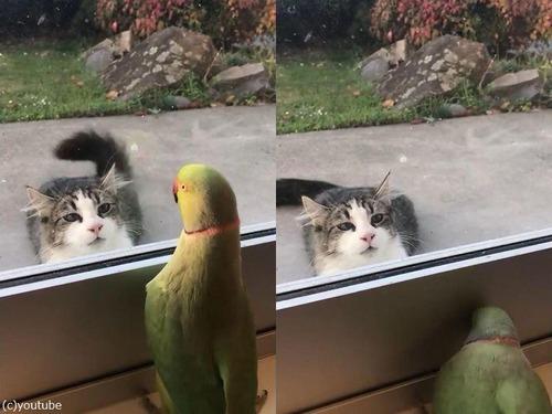猫に「いないいないばあ」をするインコ02