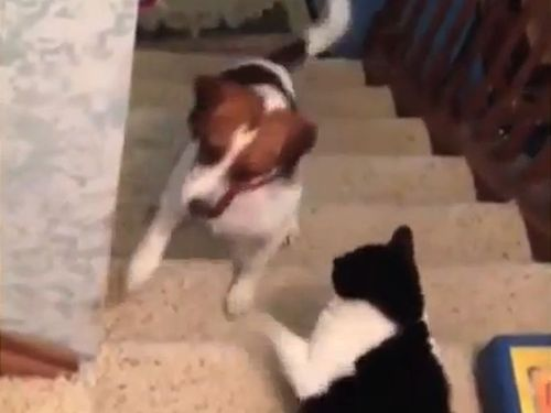 犬を通せんぼする猫01