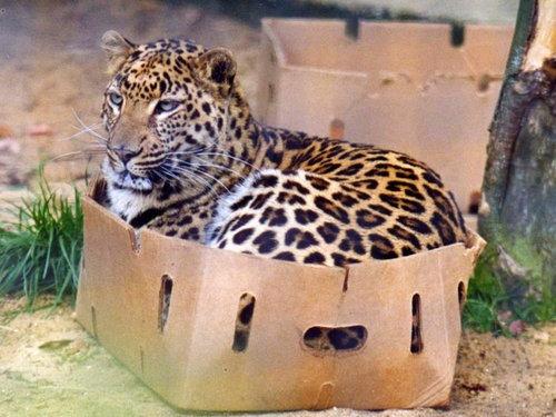 大型でもかわいい猫19