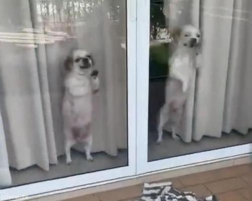 帰宅した飼い主を待ち切れない子犬たち02