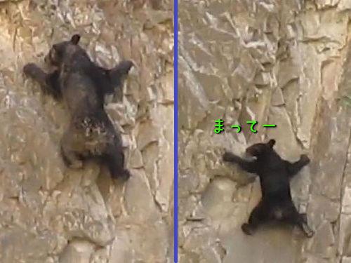ロッククライミングするクマの親子00