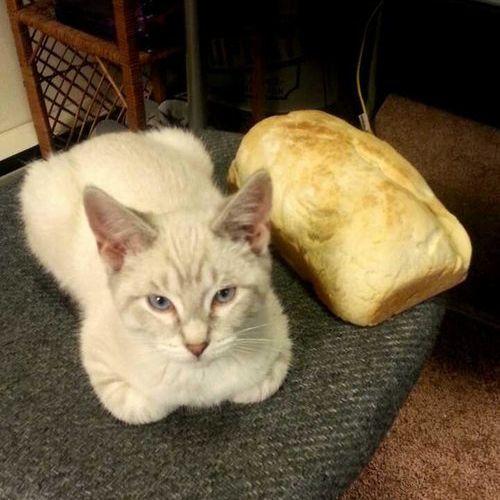 猫の「香箱座り」をパンの塊という理由02