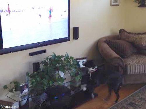 テレビを見て興奮する犬03