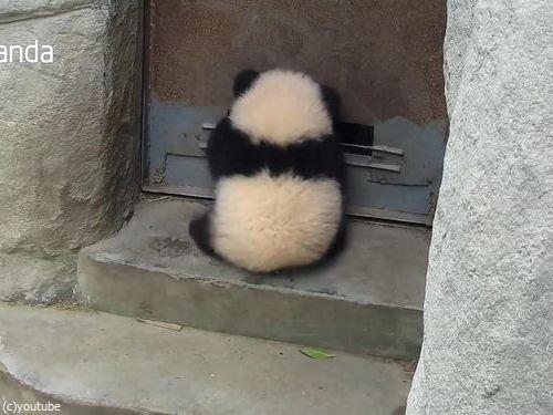 ドアストッパーな赤ちゃんパンダ01