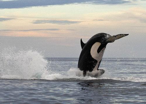 イルカを襲うシャチ04