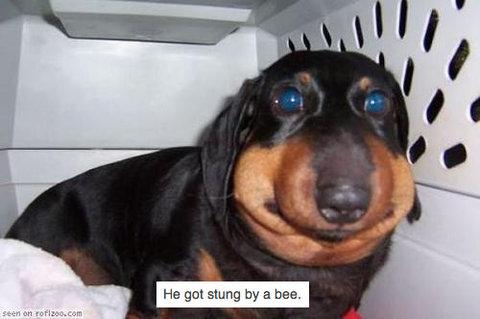 うちの犬がハチに刺された03