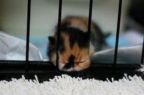 ぶさかわいい猫12