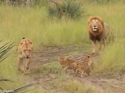 父ライオン「がおおぉ!」子ライオン「きゃおお!」01