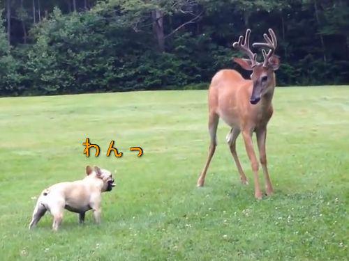 鹿とブルドッグ00
