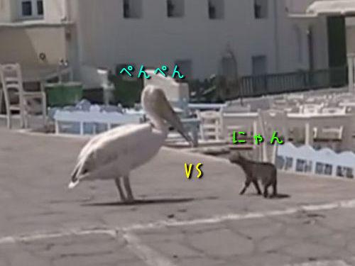 ペリカンvs猫