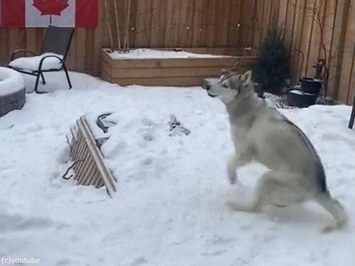 雪の上で犬がクイックターン00