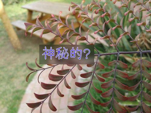 枝の代わりに間違って葉っぱを伸ばした木00