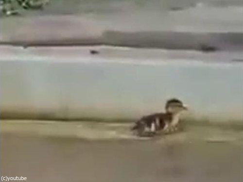 プールを泳ぐカモの赤ちゃん01