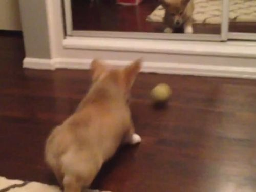 コーギー犬と鏡01